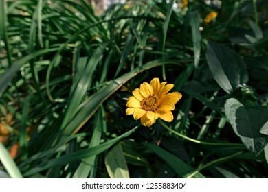 Yellow Aster flower in the garden. Asteraceae (Compositae) family of flowering plants.