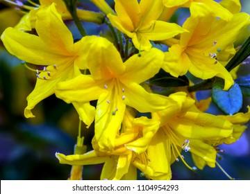 Yellow atzalea flowers