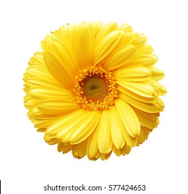 Yellow autumn chrysanthemum isolated on white