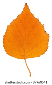 Yellow autumn fallen birch leaf on a white background