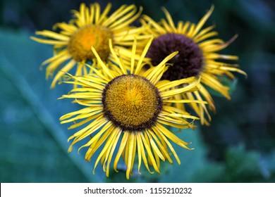 Yellow autumn flower