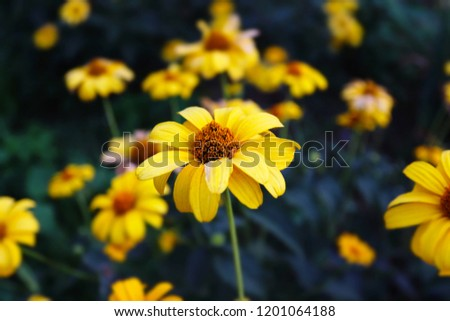 Yellow autumn flowers. Doronicum close up