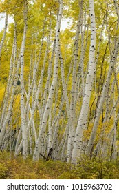 Yellow autumn foliage of Aspen leaves in Colorado