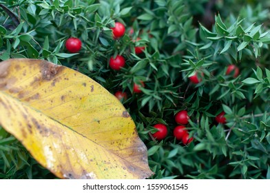 yellow autumn leaf on a green ruskus bush with red berries