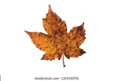 Yellow autumn leaf on white beackground