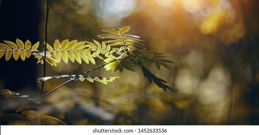 Yellow autumn leaves of a ashberry on branches. Golden autumn.