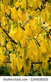 Yellow autumn leaves of Asimina triloba or paw paw tree