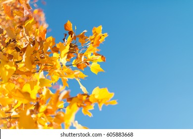 Yellow autumn leaves with a backdrop of blue clear sky.