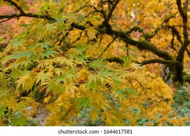 Yellow autumn leaves and berries, Washington Park Arboretum, Seattle