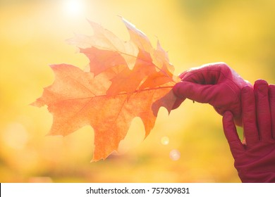 Yellow autumn leaves in hands on autumn  background, red leather glove