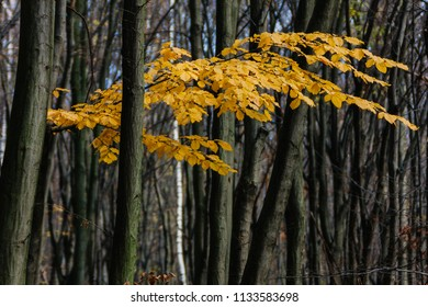 Yellow autumn leaves on bare trees in the quiet forest