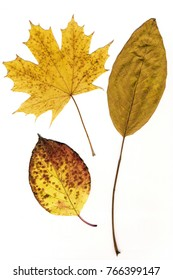 yellow autumn leaves on a white background isolated