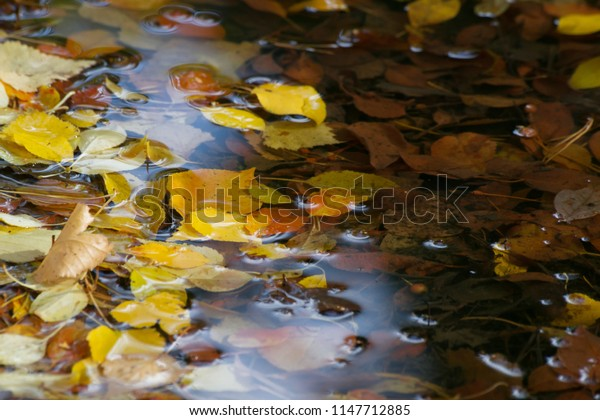 Yellow autumn leaves in puddle