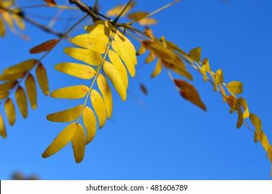 Yellow Autumn leaves of Sunburst Honey Locust tree