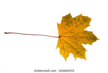 yellow autumn maple leaf isolated on white background