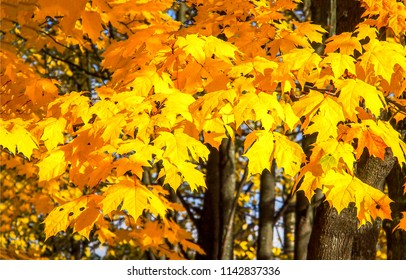 Yellow autumn maple leaves background. Golden autumn maple leaves view. Autumn maple leaves tree branches