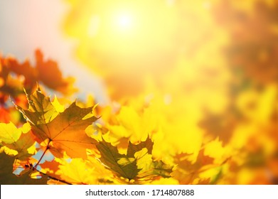 Yellow autumn maple leaves in a forest. Selective focus. Blurred autumn nature background - Shutterstock ID 1714807888