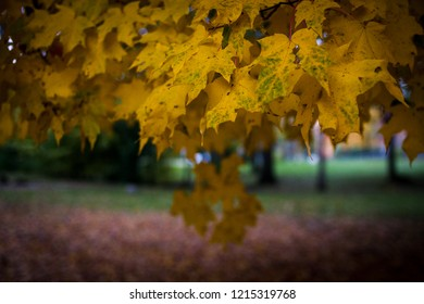 Yellow autumn maple leaves with green background and fallen red leaves
