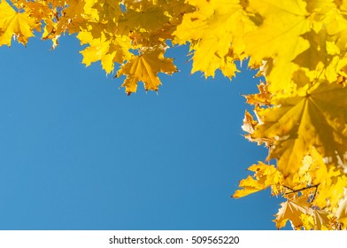 Yellow autumn maple leaves over blue sky. Autumn. Golden