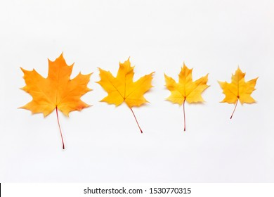 Yellow autumn maple leaves in row on white background.