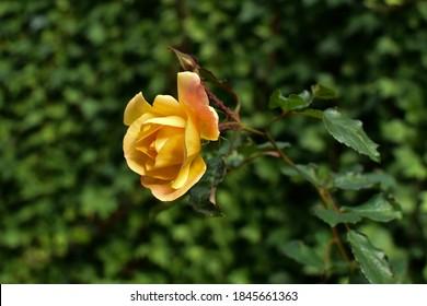 Amarillo, rosa otoño y fondo verde