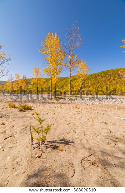 Yellow, autumn trees on the banks of a dry river. Autumn landscape