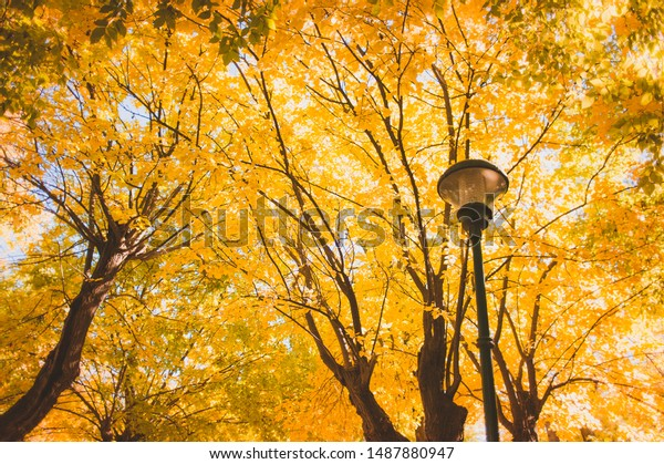 Yellow autumn trees and street light background