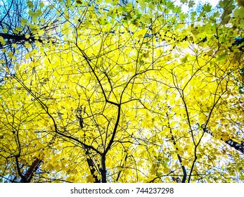 Yellow Autumn trees. Tree yellow leaves falling on ground. Autumn tree background forest landscape. Autumn tree branch leaves. yellow forest fall Orange forest