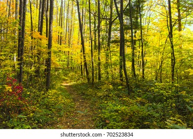 Yellow autumnal leaves
