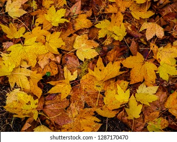 Yellow autumnal leaves as nature background. Golden autumn, copy space.