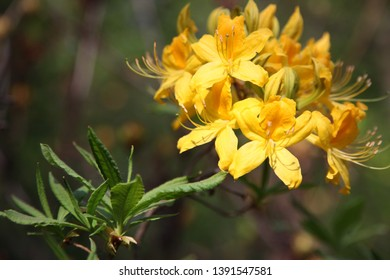 Yellow azalea or honeysuckle azalea. Blooming of yellow rhododendrons in the garden. Natural flower background
