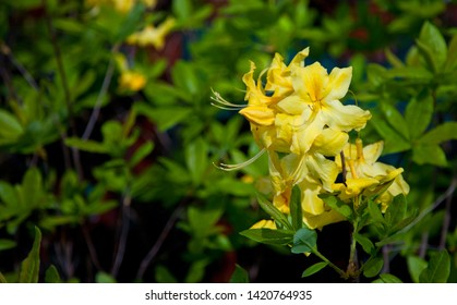 Yellow azalea or honeysuckle azalea. Blooming of yellow rhododendrons in the garden. Yellow flowers backgrouwnd