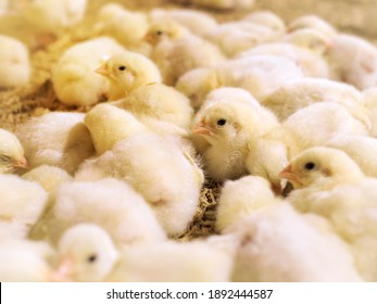 Yellow baby chickens were grounding in the farm to started feeding in the chicken farm business
