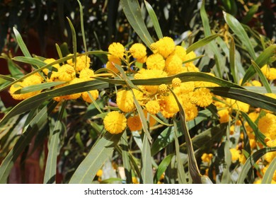 Yellow ball-shaped blossoms of the golden wreath wattle or coojong tree (Acacia saligna) native to Western Australia