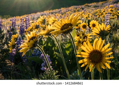 Yellow balsamroot and purple lupines in bloom at Dalles Mountain Ranch, Columbia Hills State Park, Washington