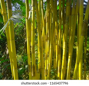 Yellow bamboo brings a natural impression and gives a fresh color to the garden