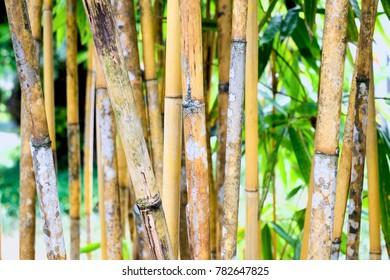 yellow bamboo trees