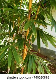 yellow Bamboo trees in Sri Lanka.