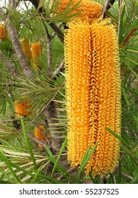 Yellow Banksia