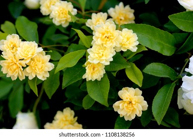 Yellow Banksian rose, Rosa banksiae 'Lutea', thornless rambling rose with light green smooth edged leaflets and double pale yellow flowers in clusters.