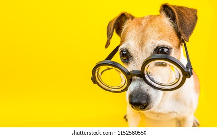 yellow banner. Back to school. dog in glasses. Cool nerd style