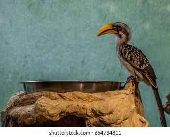Yellow Beaked Hornbill on Stone