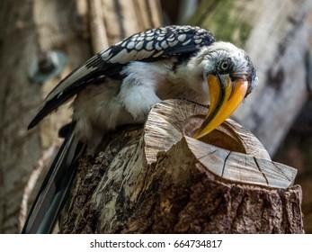 Yellow Beaked Hornbill on Tree