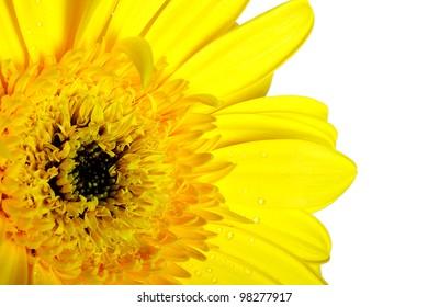 Yellow beautiful gerbera flower isolated over white