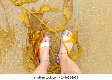 Yellow beautiful seaweed on the beach in California. seaweed in the sand.