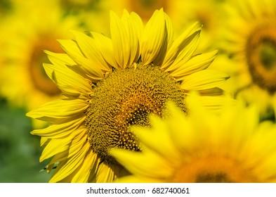 Yellow beautiful sunflowers