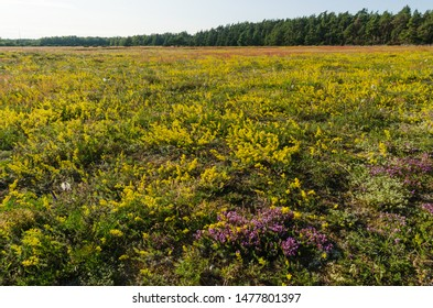 Yellow bedstraws and thyme flowers in a field at the swedish island Oland
