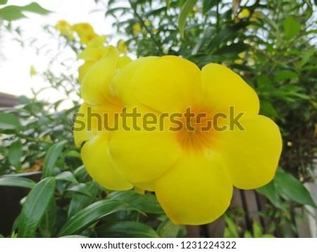 Yellow Bell Flower Closeup Allamanda Golden Stock Photo Edit Now