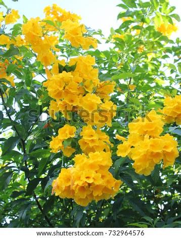 Yellow bell flower on tree stock photo edit now 732964576 yellow bell flower on the tree mightylinksfo