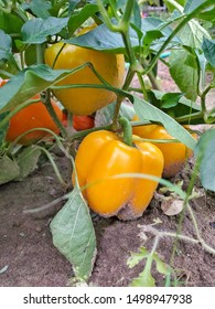 yellow bell pepper growing on plant in dirt